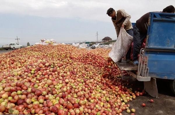 ۶٨٠ هزار تن سیب باغداران آزربایجان در سردخانه های آزربایجان غربی روند پوسیدگی را طی می کنند